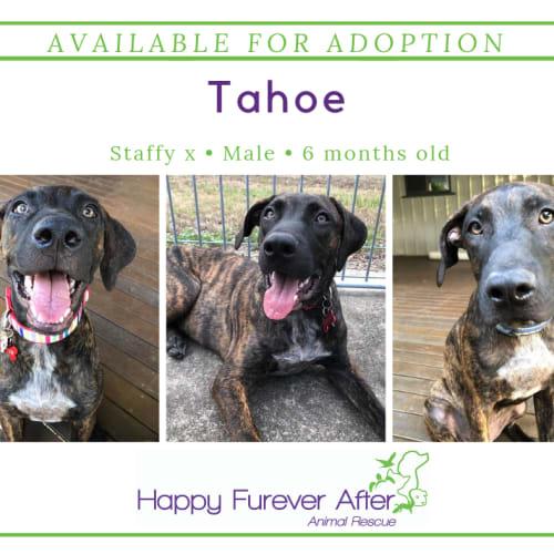 Tahoe - Staffordshire Bull Terrier Dog