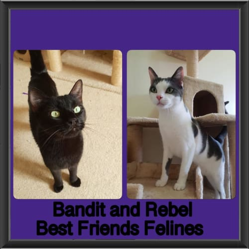 Bandit and Rebel  - Domestic Short Hair Cat