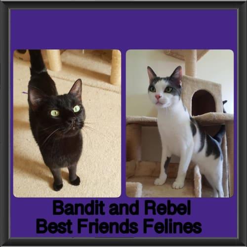 Bandit and Rebel  - Domestic Short Hair Cat