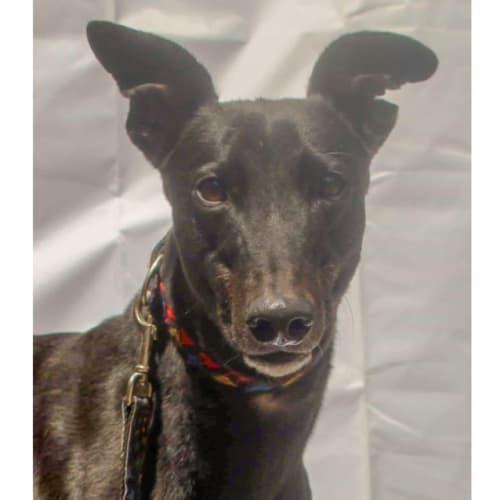 Finn - Greyhound Dog