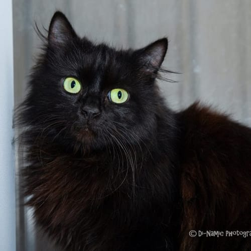 AC0989 - Emerson - Domestic Long Hair Cat