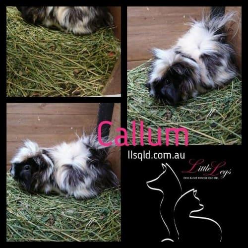 Callum - Guinea Pig