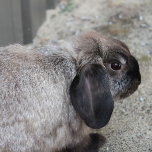 Amy Poehler - Domestic Rabbit