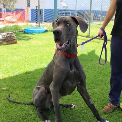 Brewster - Great Dane Dog
