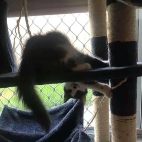 Katy - Domestic Medium Hair Cat
