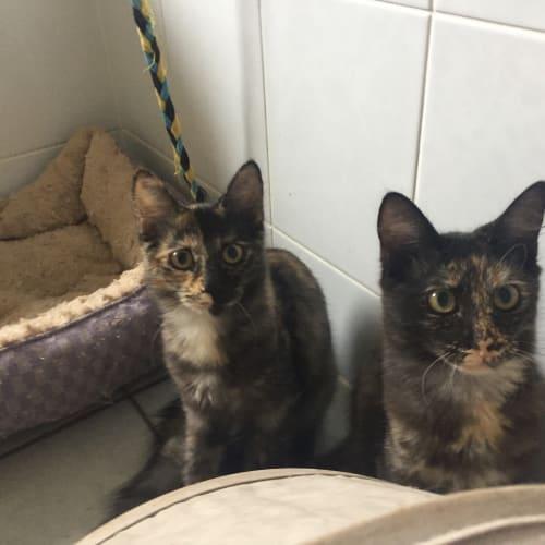 Mavis & Murtle - Domestic Medium Hair Cat