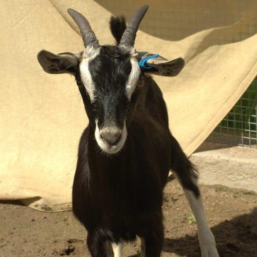 Goatchella -  Goat