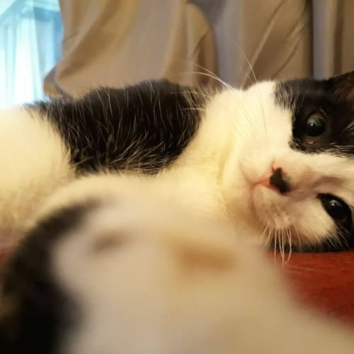 Hilda (Located in Belgrave) - Domestic Short Hair Cat