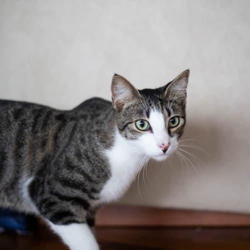 Timmy - Domestic Short Hair x Oriental Cat