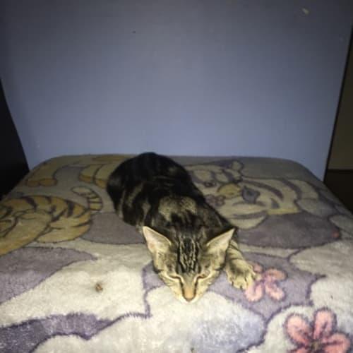 Romeo - Domestic Short Hair Cat