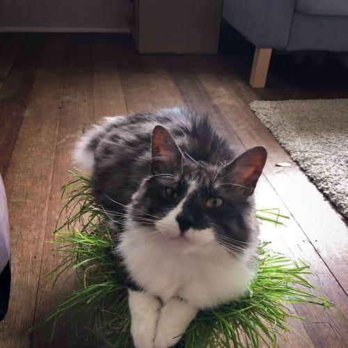Fergus - Domestic Medium Hair Cat