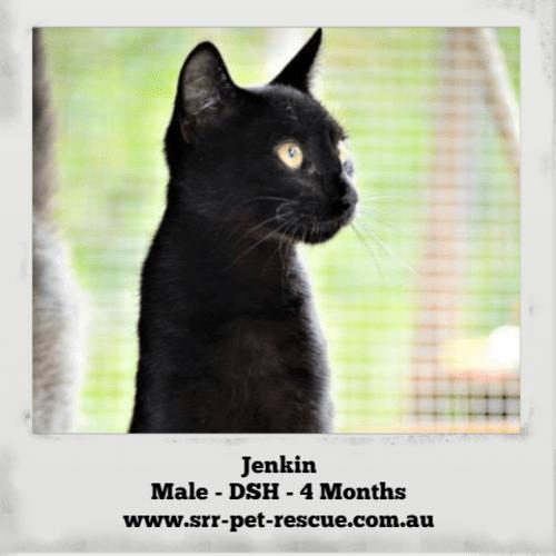 Jenkin - Domestic Short Hair Cat