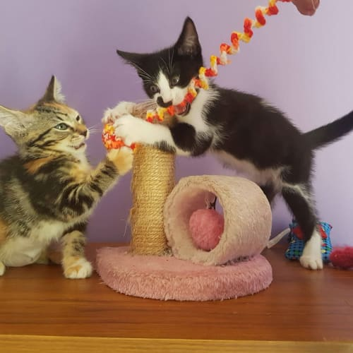 Jasmine and Wattle bonded siblings - Domestic Short Hair Cat
