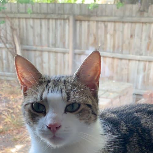 Sweet little Sonic  - Domestic Short Hair Cat