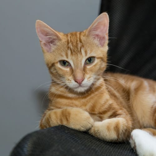 Ginger Ninja *On Adoption Trial* - Domestic Short Hair Cat