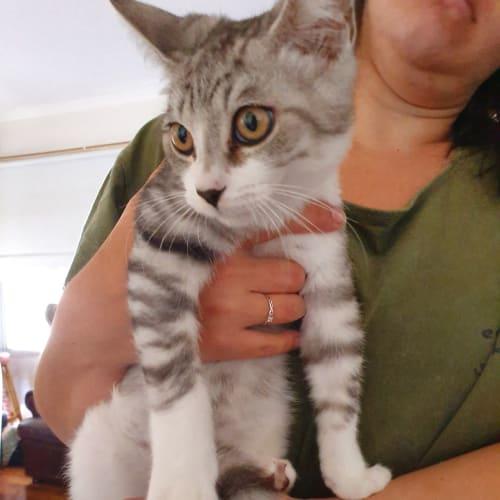 Dill - Domestic Short Hair Cat