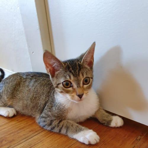 Didi - Domestic Short Hair Cat