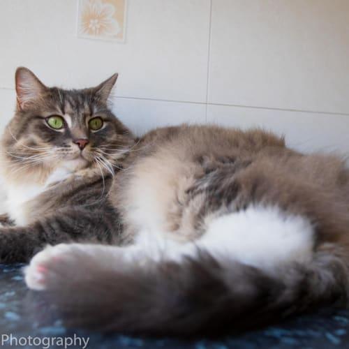 Casper - Ragdoll x Siberian Cat