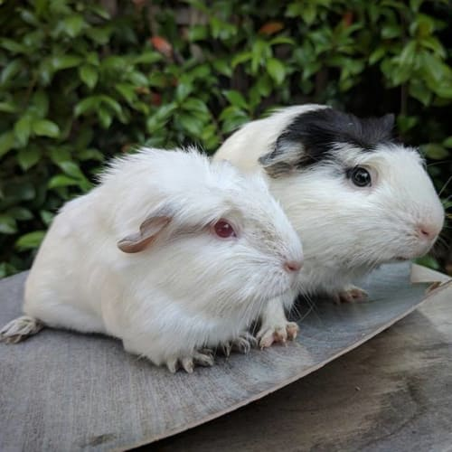 Margaret and Susan - Smooth Hair x Himalayan Guinea Pig