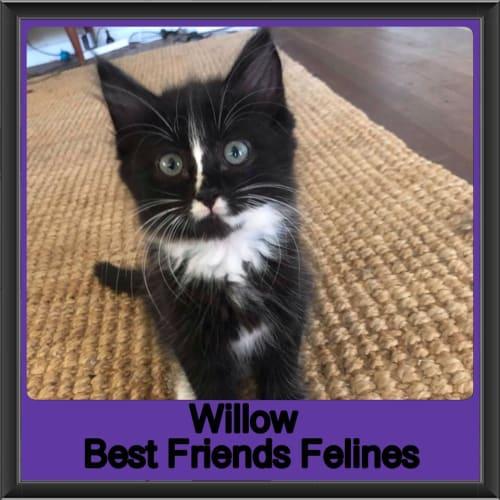 Willow  - Domestic Medium Hair Cat