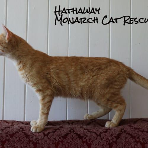 Hathaway - Domestic Short Hair Cat