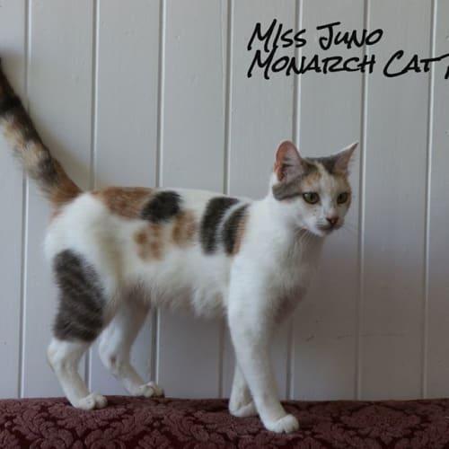 Juno - Domestic Short Hair Cat
