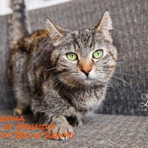 Finnoula - Domestic Short Hair Cat