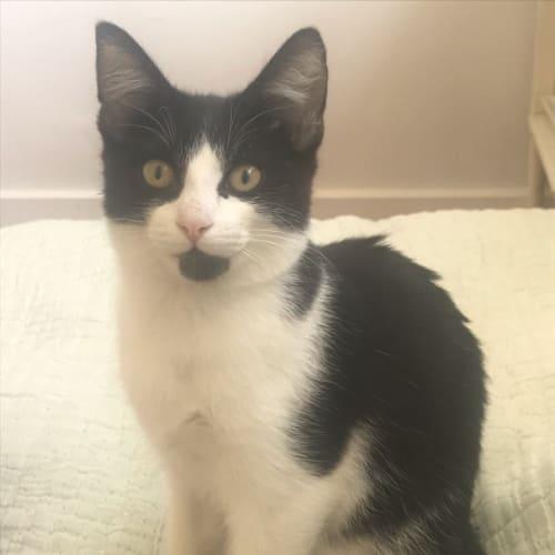 Acai - Located in Balaclava - Domestic Short Hair Cat
