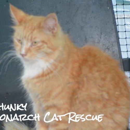 Chunky - Domestic Medium Hair Cat