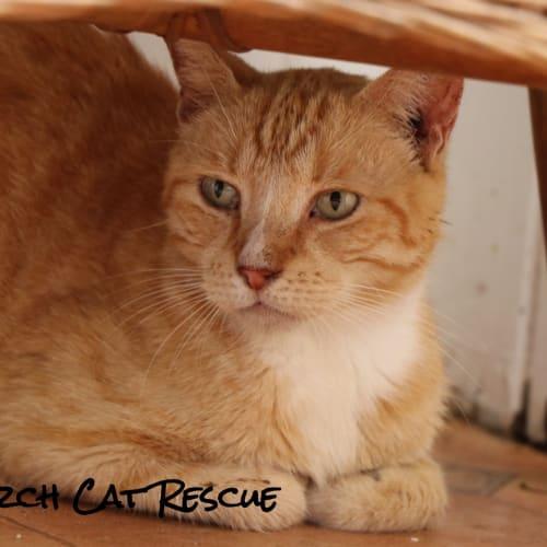 Texas - Domestic Short Hair Cat