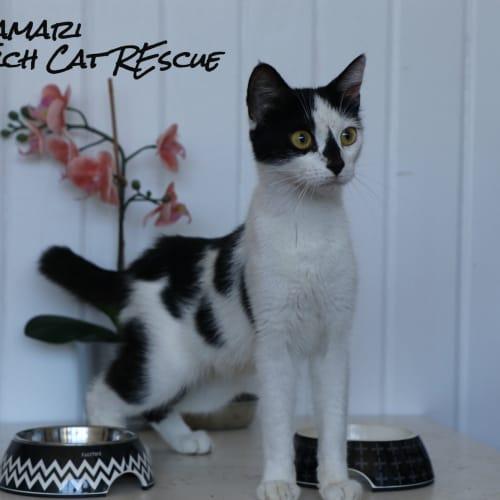 Kamari - Domestic Short Hair Cat