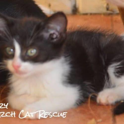 Landry - Domestic Short Hair Cat
