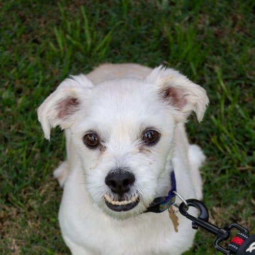 Pluto Pup - Maltese x Shih Tzu Dog