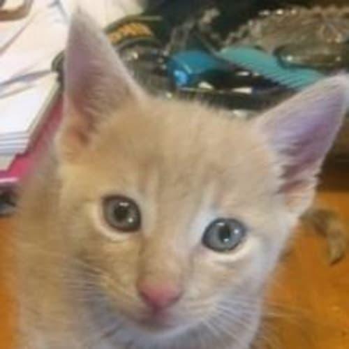 Quincy - Domestic Medium Hair Cat
