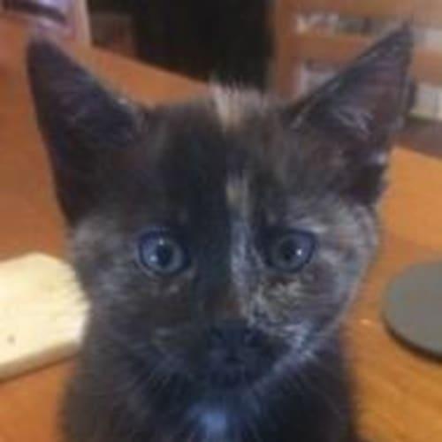 Quinley - Domestic Medium Hair Cat