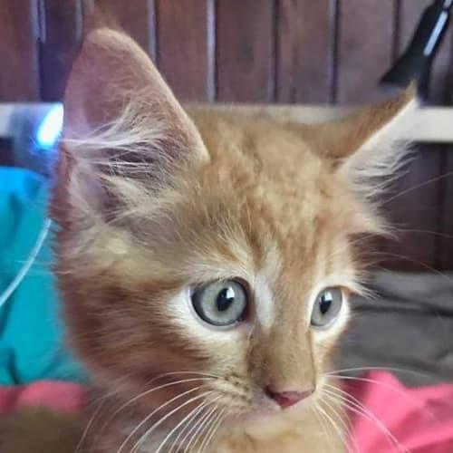 Gabriella - Domestic Medium Hair Cat