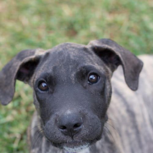 Luther - Bull Arab x Mastiff Dog