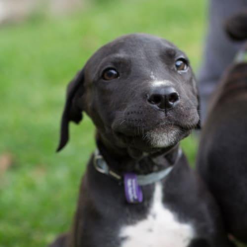 Violet - Bull Arab x Mastiff Dog