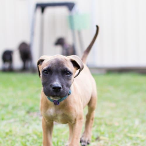 Lotus - Bull Arab x Mastiff Dog