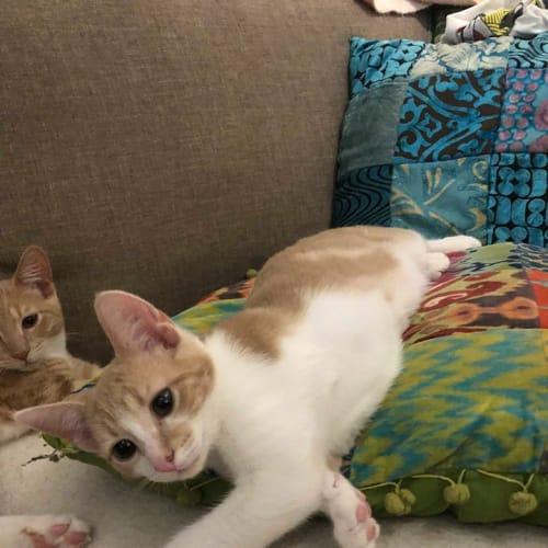 Rukin - Domestic Short Hair Cat
