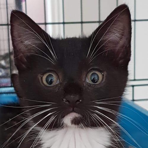 Brooklyn - Domestic Short Hair Cat
