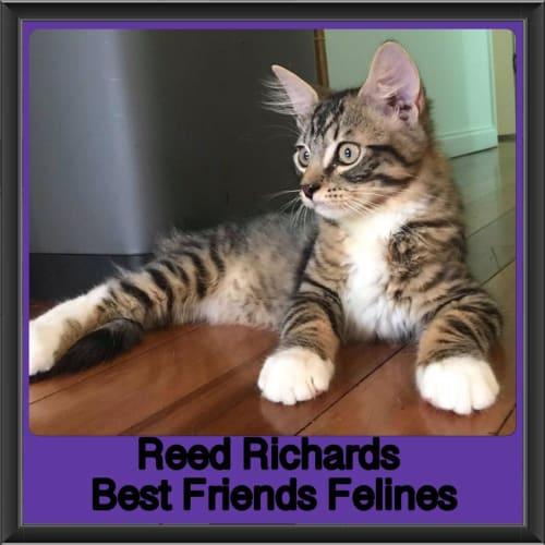 Reed  - Domestic Medium Hair Cat