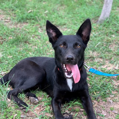 Dakoda - Border Collie x Kelpie Dog
