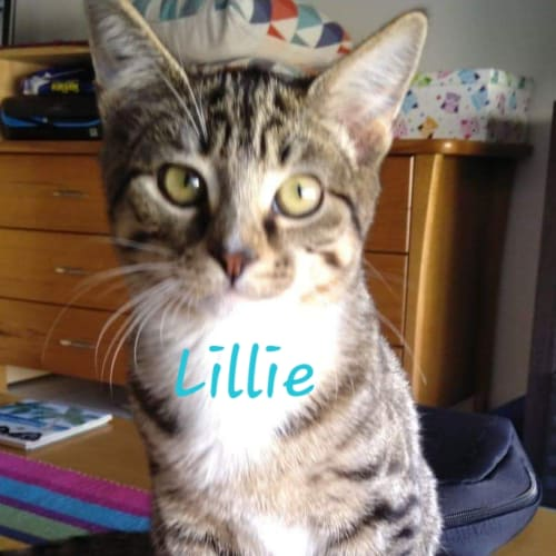 Lillie - Domestic Short Hair Cat