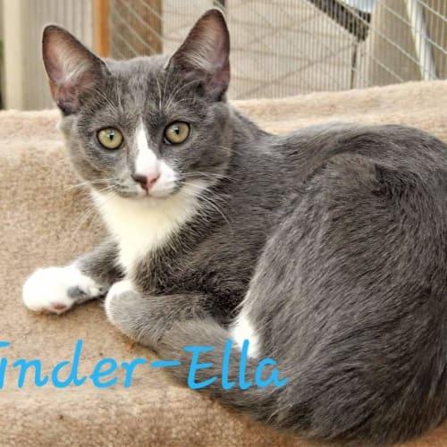 Cinder-Ella - Domestic Short Hair Cat