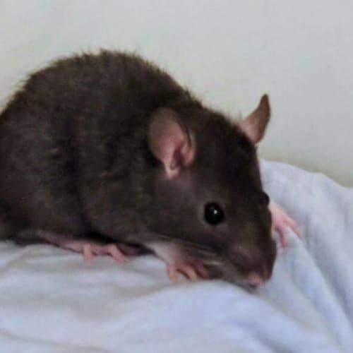Oakley -  Rodent