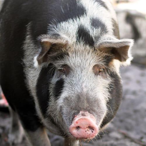 George -  Pig