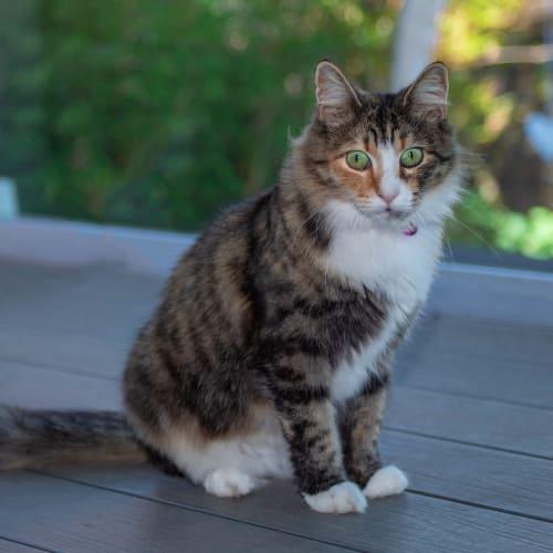 Molly NC0647 - Domestic Medium Hair Cat