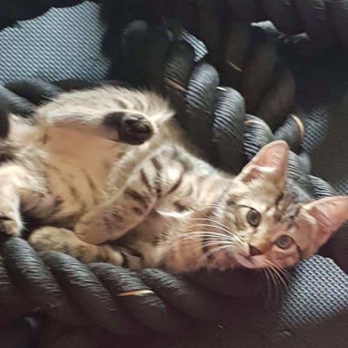 Kahalia - Domestic Short Hair Cat