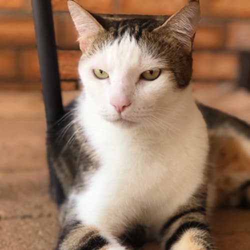 Tobie - Domestic Short Hair Cat